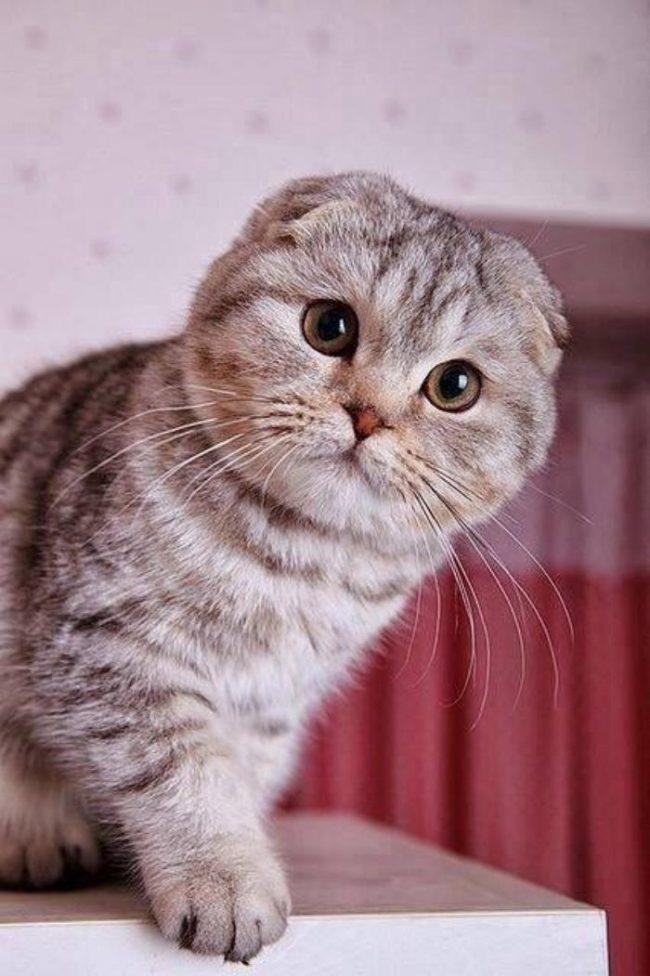 Английский лопоухий кот
