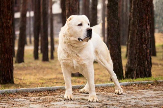 Среднеазиатская овчарка — одна из древних пород собак из Средней Азии