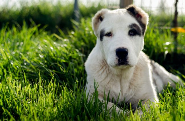 Собака алабай независима, спокойна, свободолюбива и достаточно своенравна