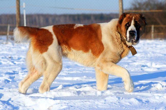 собака алабай фото
