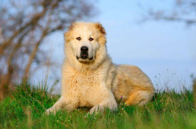Несмотря на свой большой вид, алабаи достаточно проворны, и если вы любите гулять и ходить пешком, то эта ваша собака