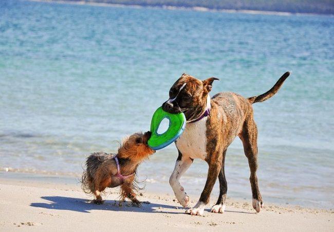 Собаки этой породы любят играть, совершать пробежки и выполнять задания