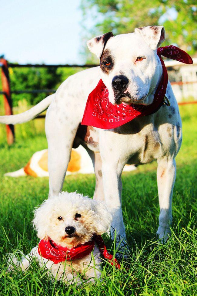 Американский питбультерьер дружелюбен ко всем, не важно, незнакомый это человек или другая порода собак