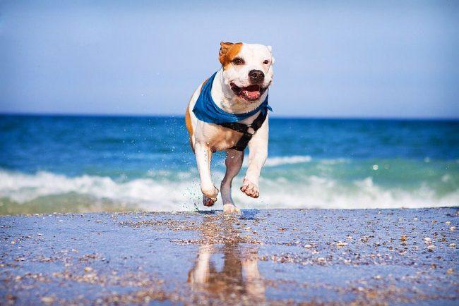 Американский питбультерьер – это неприхотливая собака, уход за которой несложен