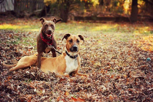 Собака питбуль всегда будет радовать членов семьи своим приподнятым настроением и уравновешенным, покладистым характером