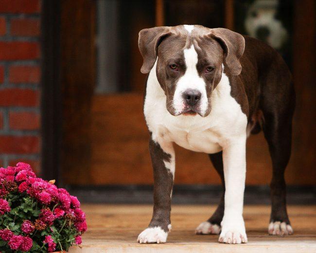 Эти собаки известны за свою терпимость по отношению к детям, которые могут тянуть их за уши, хвост и т.д.