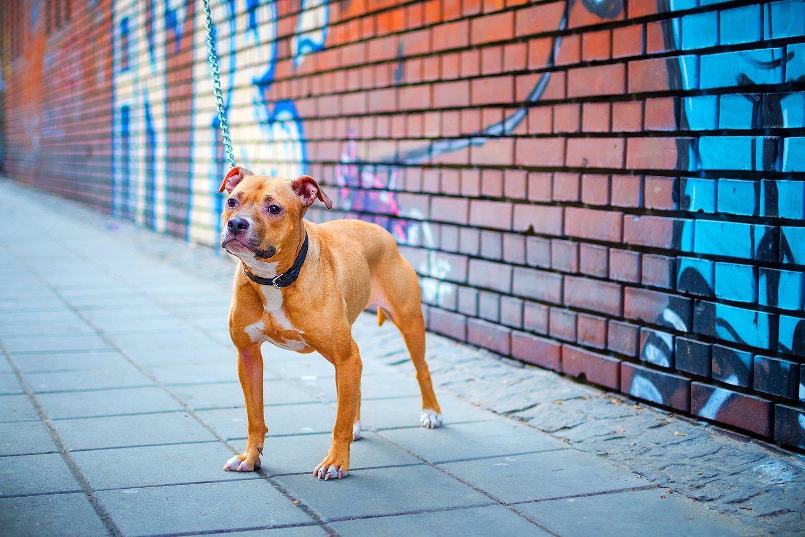 Породы собак с фотографиями питбуль