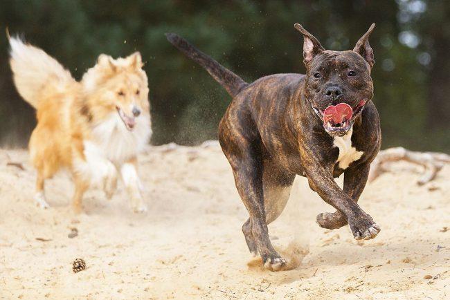Питбуль – энергичная собака, которая проявляет активный интерес к жизни