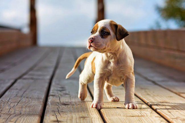 Это весёлые собаки, у которых детская непосредственность и игривость сочетается с внимательностью и рассудительностью мудрой собаки
