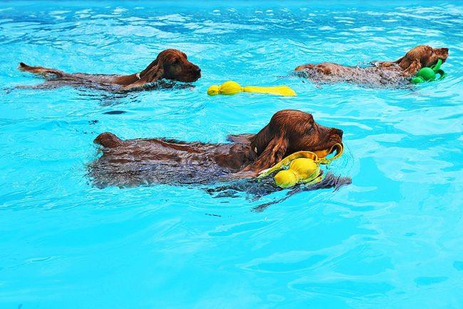Плавает кокер-спаниель очень красиво и тихо, кажется, что собака совсем не прикладывает усилий