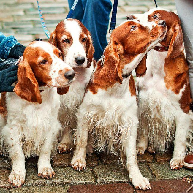 Английский кокер-спаниель — это спортивная собака с неуёмной энергией, которая постоянно приводит её в движение