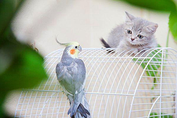 Британский котенок внимательно изучает попугая, чтобы понять - дружить с ним или охотиться на него