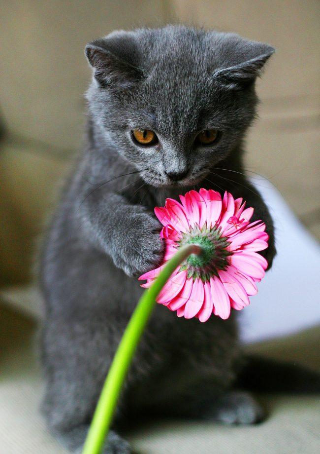 Британский голубой котенок игриво теребит розовый цветочек