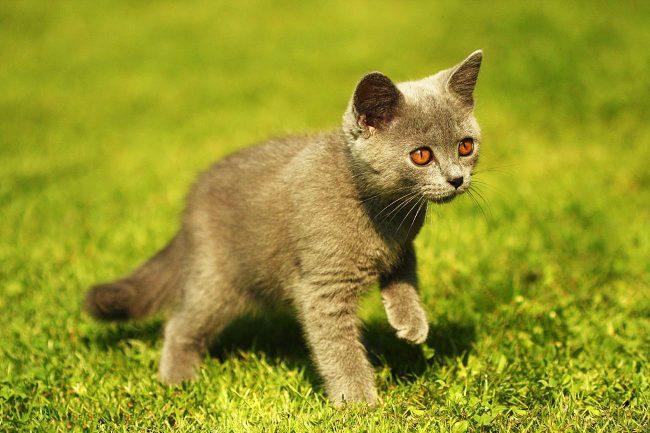 Британские котята с интересом изучают все вокруг себя