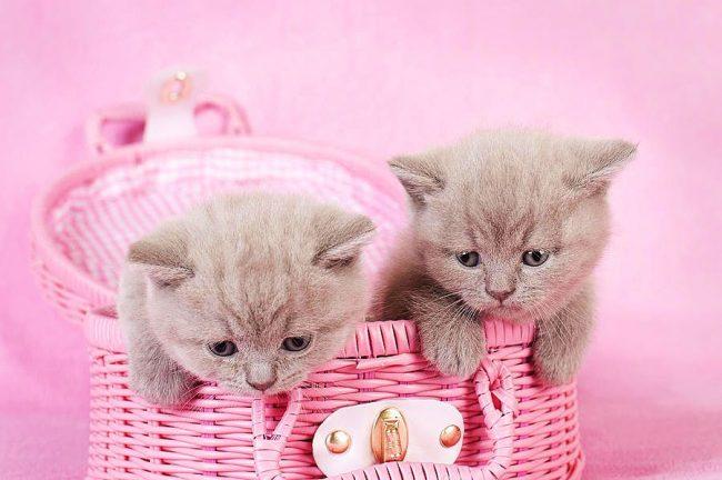 Британские котята уютно разместились в розовой корзинке