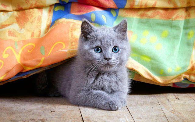 Британский котенок любитель прятаться в укромные места