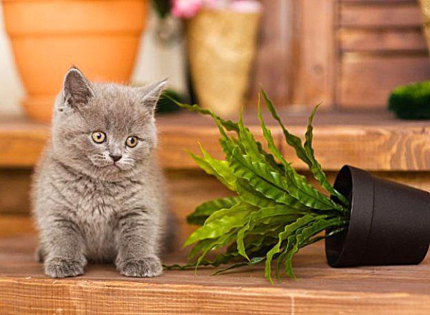 Британские котята знают, как правильно ухаживать за комнатными растениями