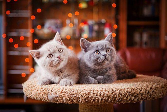 Голубой и кремовый британские котята близнецы