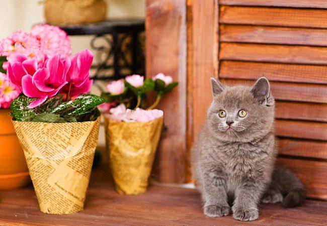 """Британские котята, словно плюшевые мишки – их так хочется """"потискать"""""""