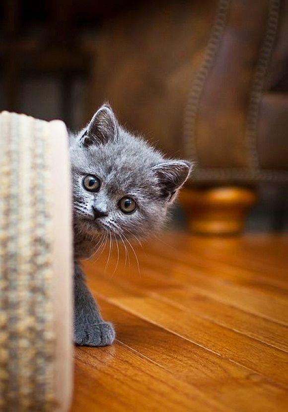 Любопытный британский котенок тайно наблюдает за происходящим в комнате