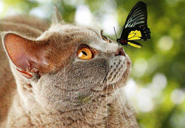 Видимо добрый взгляд британского кота позволяет бабочке чувствовать себя спокойно сидя у него на носу