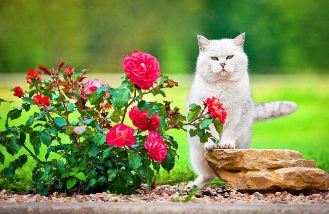"""Образ британского кота был использован для написания знаменитой сказки """"Кот в сапогах"""""""
