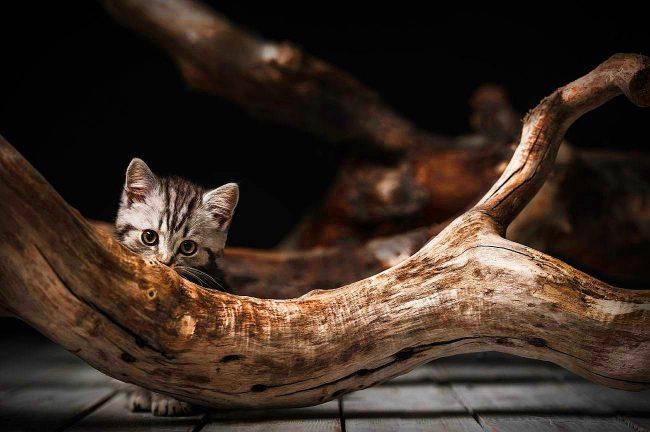 Британские котята отличные маскировщики