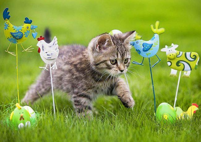 Прогулка британского котенка должна быть насыщена яркими впечатлениями
