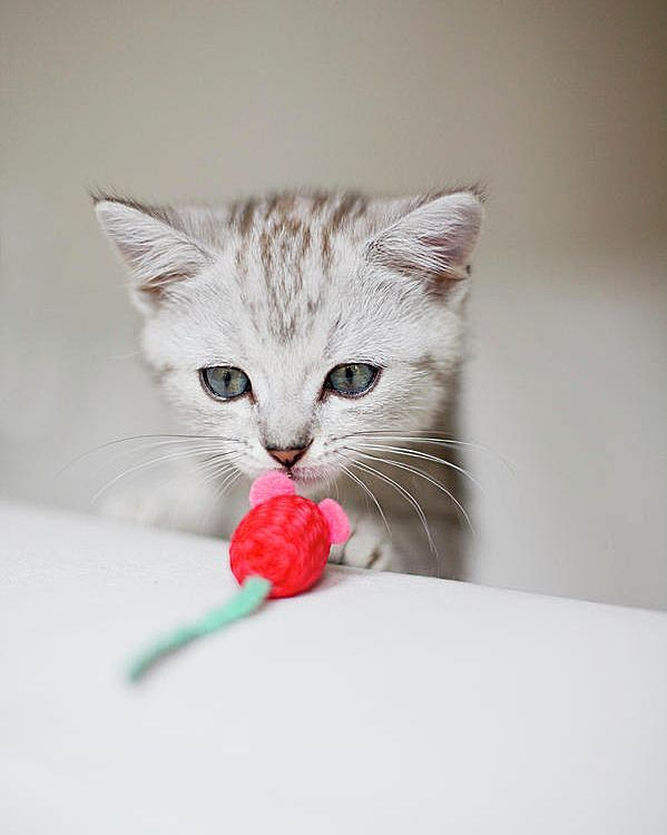 Любимая забава для британского кота - это погоня за мышкой, искусственной или настоящей для него не имеет значения