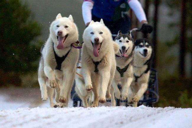Хаски - древнейшая порода ездовых собак