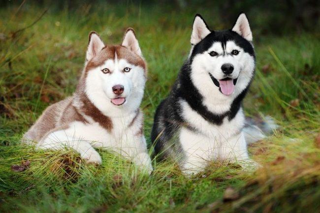 Хаски буро-белого и черно-белого окраса