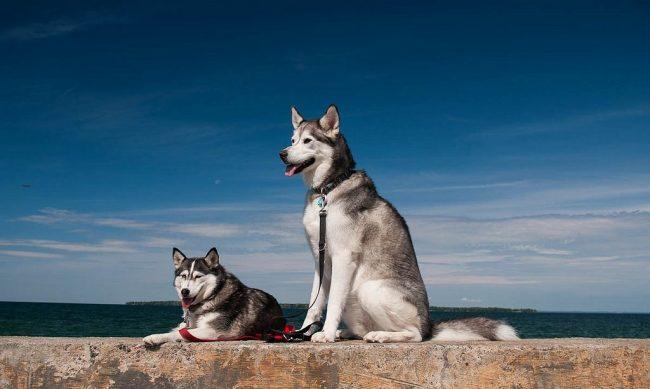 Хаски неагрессивны к другим собакам и легко ладят с детьми