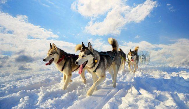 Хаски - свободолюбивые и независимые собаки