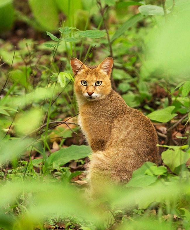 Камышовый кот, в отличие от почти всех других представителей кошачьих, совсем не боится воды