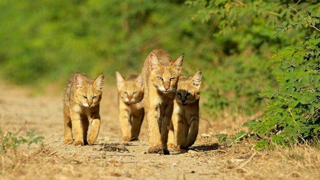 У камышового кота превосходный слух благодаря своим большим ушкам