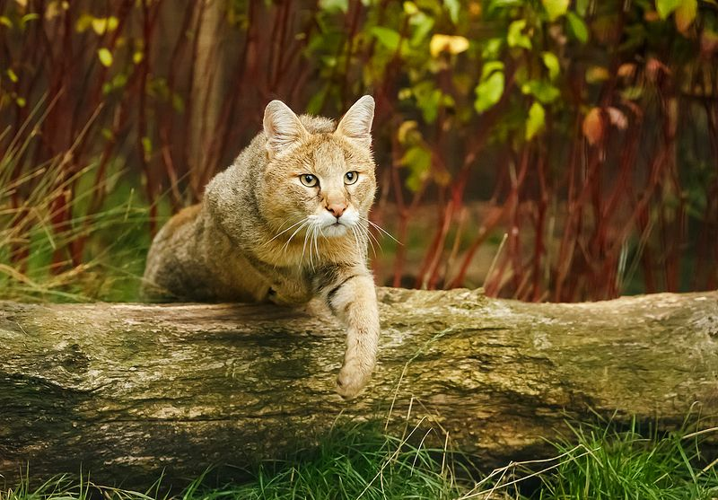 Камышовый кот или хаус: описание породы кошек, характер, фото и цена