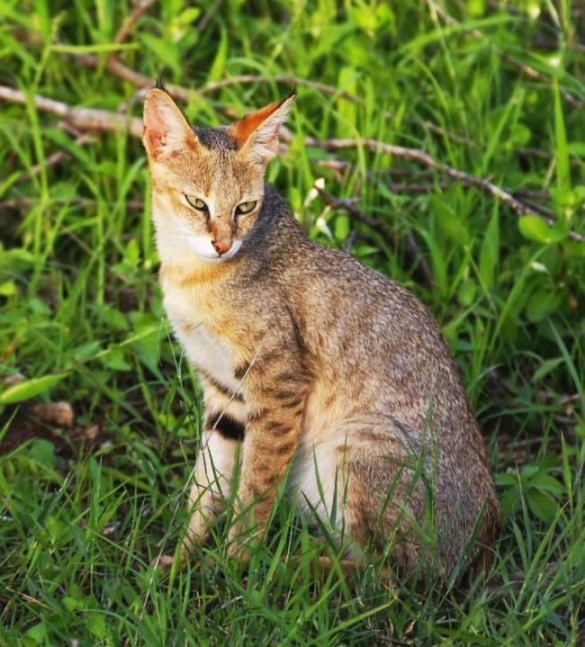 Болотная рысь – одна из самых крупных кошачьих пород
