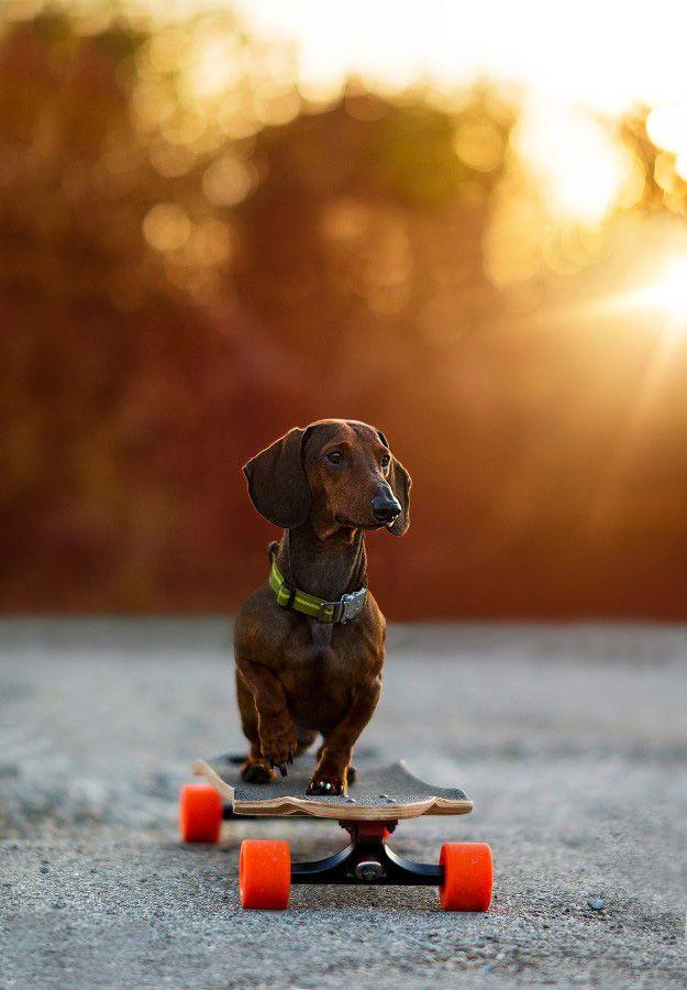 Такая собака быстро станет верным и лучшим другом человека