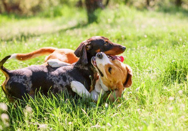 Эти собаки настолько любвеобильны и добродушны, что найдут себе друга среди любых животных