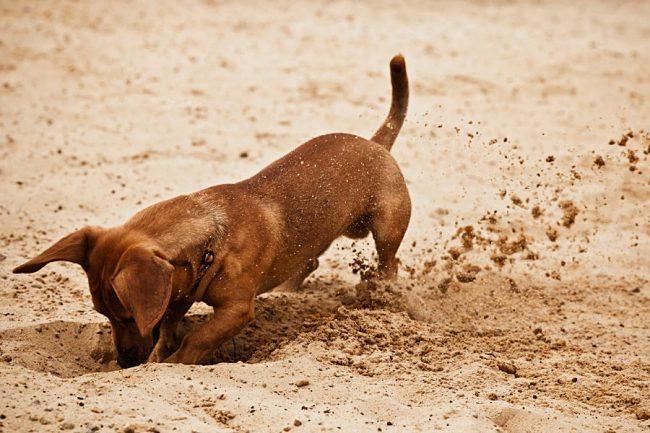 Карликовая такса – это в первую очередь охотничья собака, идеально созданная для работы в норе