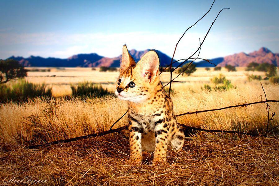 Саванна – фото кошки, описание особенностей породы и характеристика кошки саванна