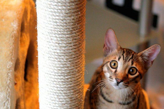 Выразительный, умный взгляд отличает саванну от многих пород кошек
