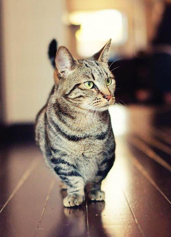 В народе манчкина называют кошка-такса