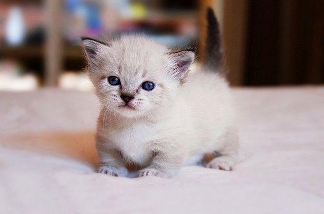 фото кошек породы манчкин