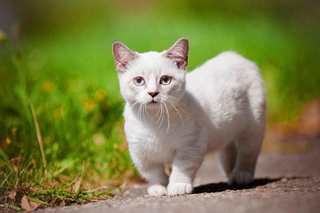 Манчкины преданные людям, веселые и любящие кошки