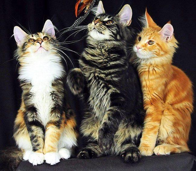 Котята мейн куна охотно резвятся вместе
