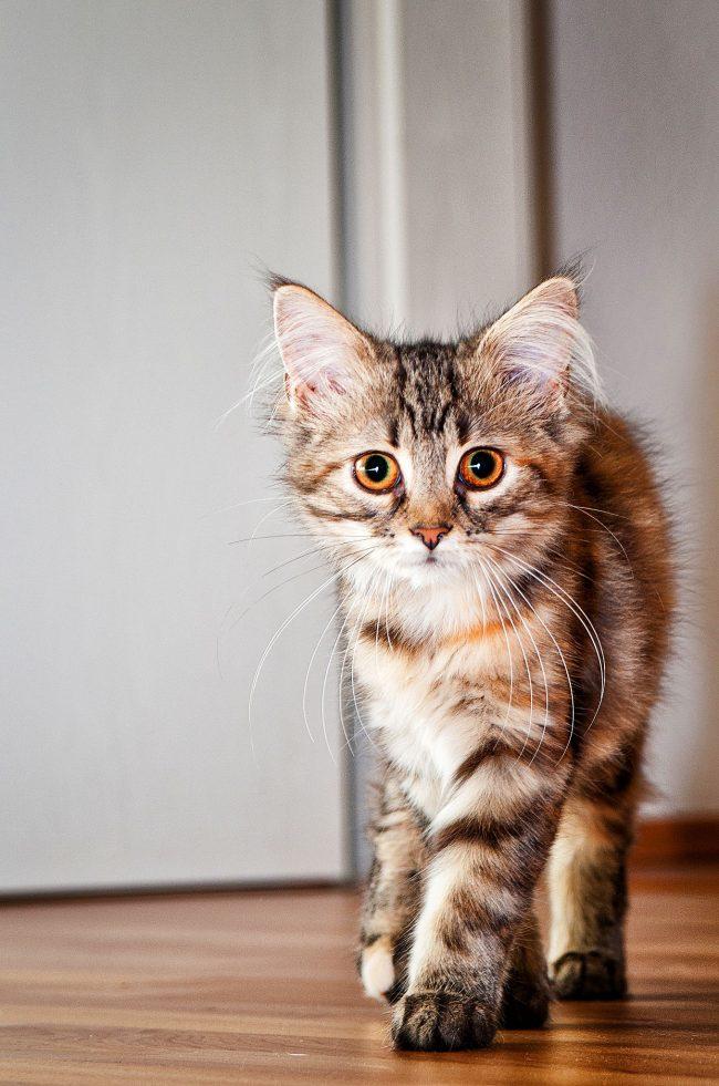 Котята мейн куна очень милы и актывны