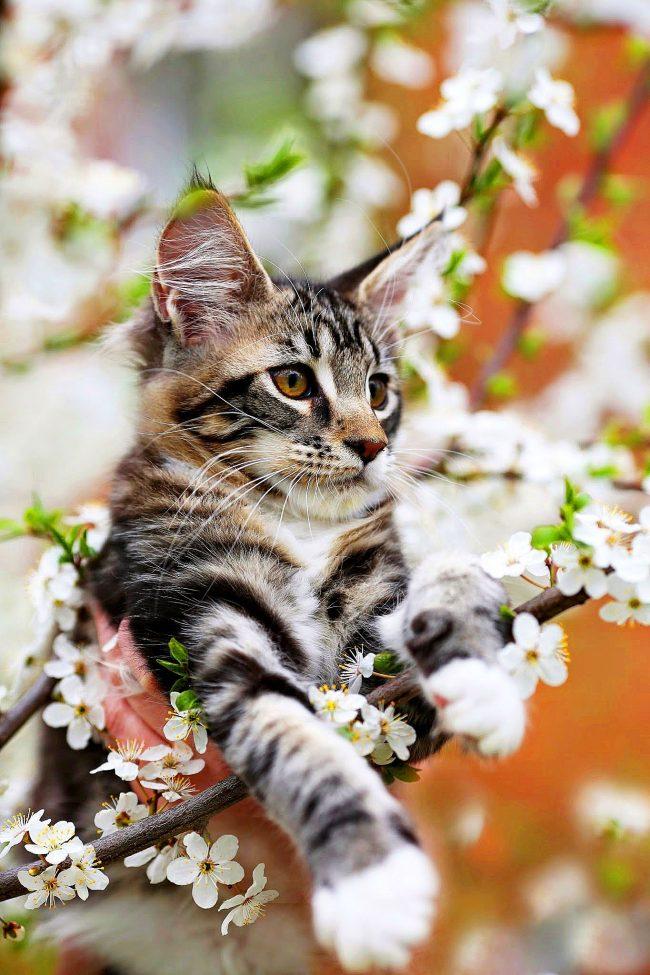 С котятами мейн куна в доме всегда будет весна