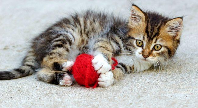 Котята постоянно бегают за человеком, заглядывают ему в глаза и словно пытаются что-то изречь, постоянно мурлыча