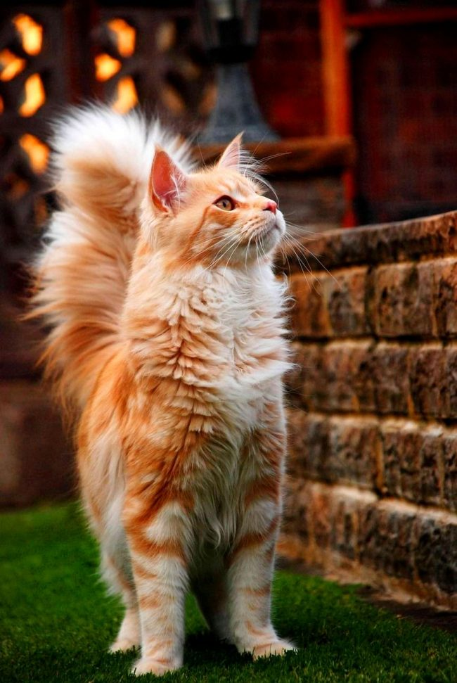 Котам породы мейн-кун присущи чувство собственного достоинства и уверенность, а также и сдержанность по отношению к окружающим